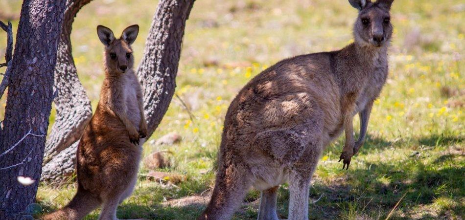 phototrip - Úc - Xứ sở Kangaroo